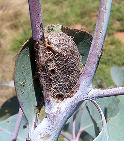 Caterpillars_cocoon (3)